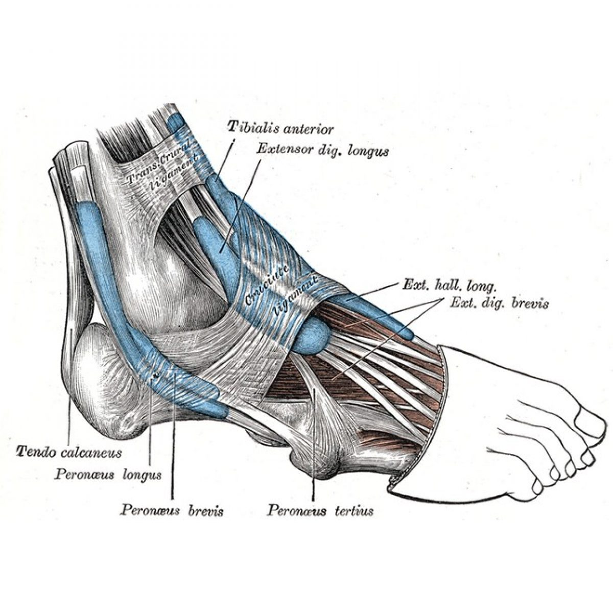 dolor en el pie exterior inferior