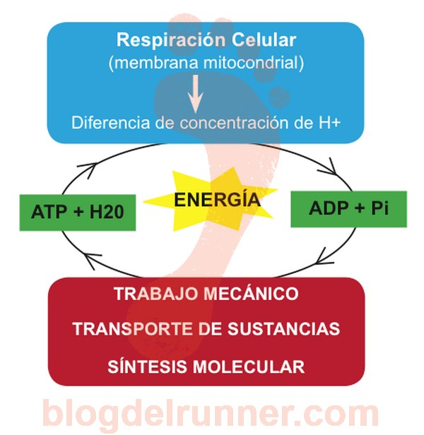 La respiración celular