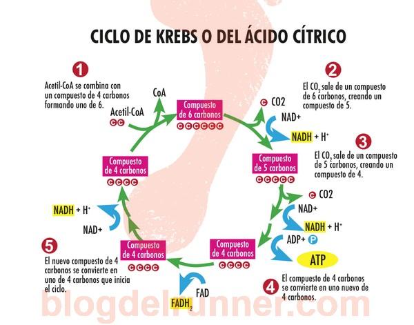 ATP: El ciclo de Krebs