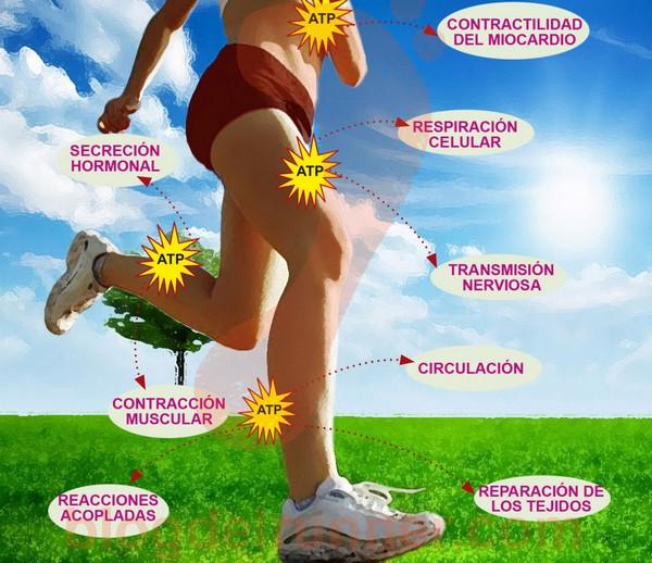 ATP: La energía que mueve al Runner