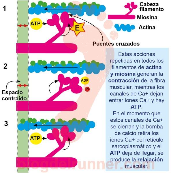 Cómo se transforma la energía en movimiento muscular