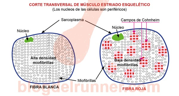 Fibras musculares rojas y blancas