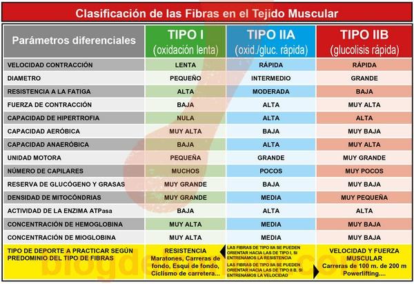 Clasificación de las Fibras en el Tejido Muscular