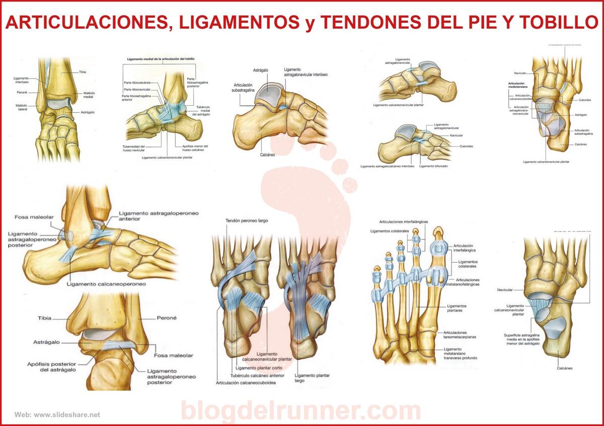 Articulaciones, ligamentos y tendones del pie