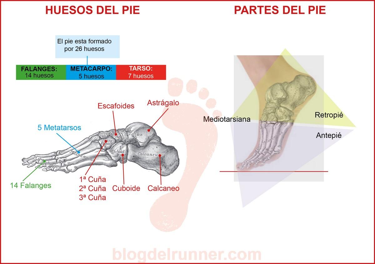 Huesos y partes del pie
