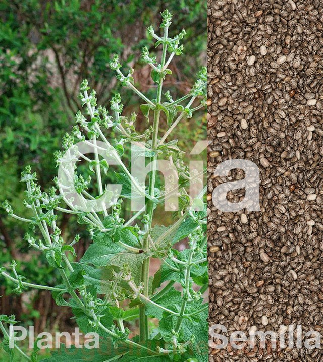 Planta y Semillas de Chía