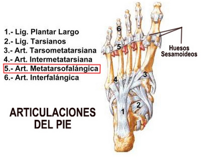 Huesos sesamoideos en el pie