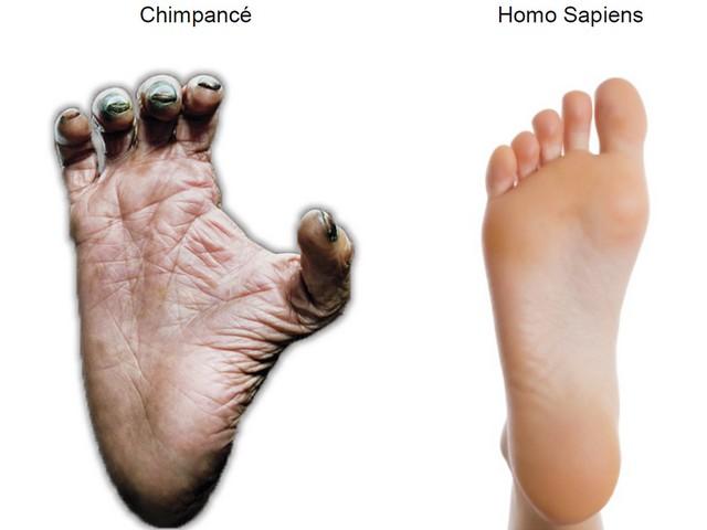 Comparación del pie de chimpancé y el del Homo sapiens