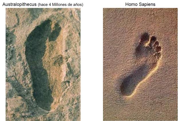 Comparación del pie de Australopithecus y el del Homo sapiens