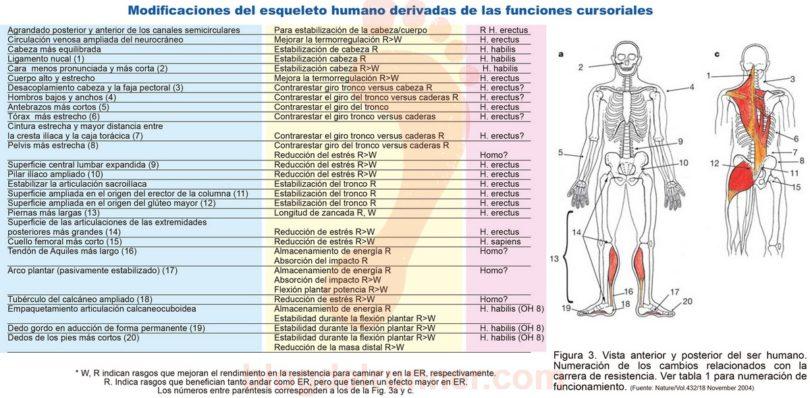 Modificaciones del esqueleto humano derivadas de las funciones cursoriales