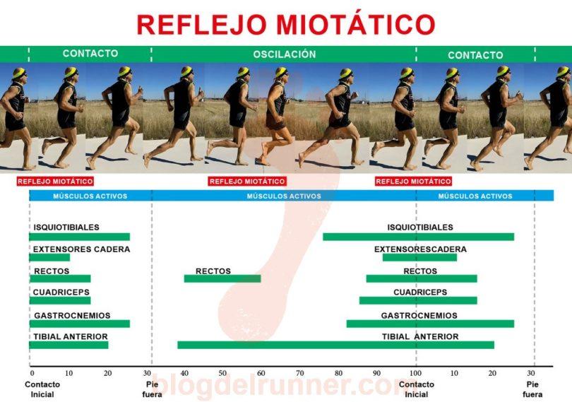 Músculos activos durante las fases de carrera